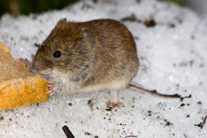 zwalczanie-myszy-warszawa